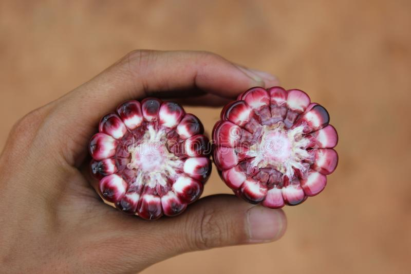 Oído de maíz por el corte transversal que muestra colores de la mazorca y del corazón en una mano humana foto de archivo libre de regalías