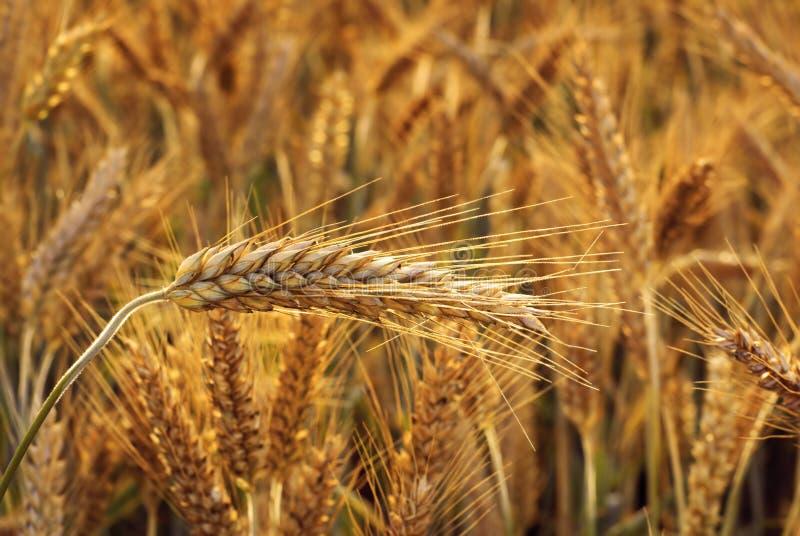Oído del cereal. foto de archivo libre de regalías