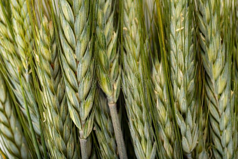 Oído del grano en una tabla blanca Semillas y oídos no maduros del grano antes de la cosecha imágenes de archivo libres de regalías
