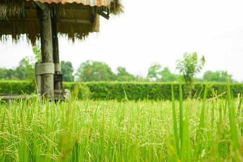 Oído del primer del arroz en el campo con la hoja borrosa del fondo del arroz fotografía de archivo