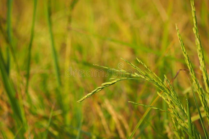 Oído del significado del arroz y del arroz del panicle de la inflorescencia fotografía de archivo