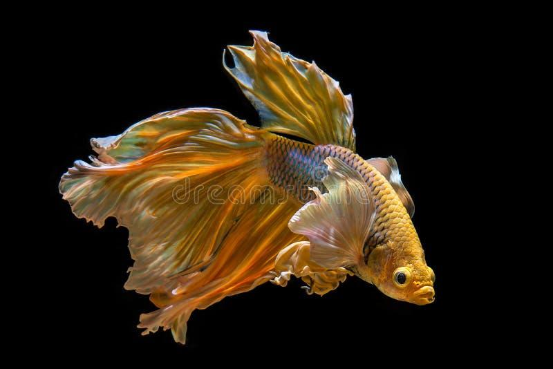 Oído grande del color de oro de los pescados de Betta fotografía de archivo libre de regalías