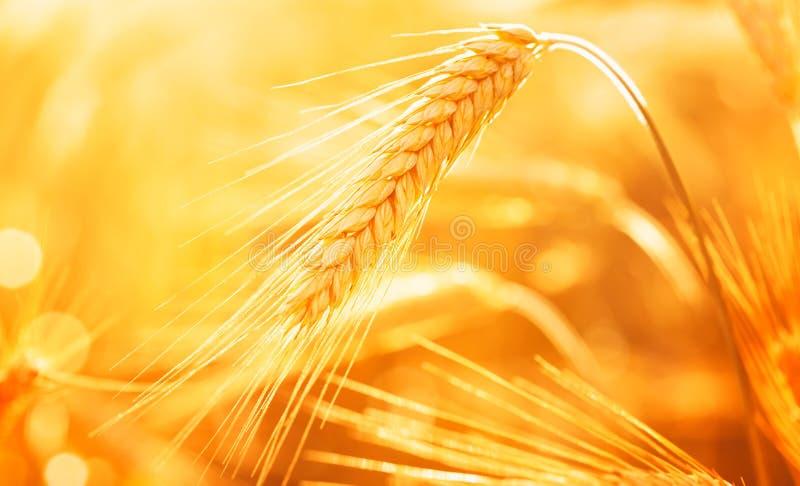 Oído o punto de oro hermoso en la luz de la puesta del sol Tiro macro Paisaje de la agricultura del oto?o imágenes de archivo libres de regalías