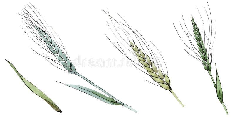 Oído verde del trigo y de la cuchilla de la hierba Sistema del ejemplo del fondo de la acuarela Elemento aislado del ejemplo de l imágenes de archivo libres de regalías