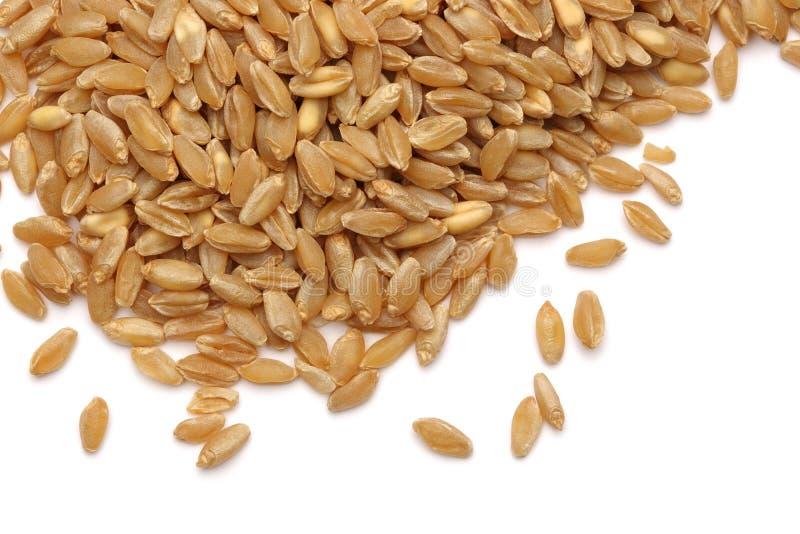 Oído y grano del trigo imagenes de archivo