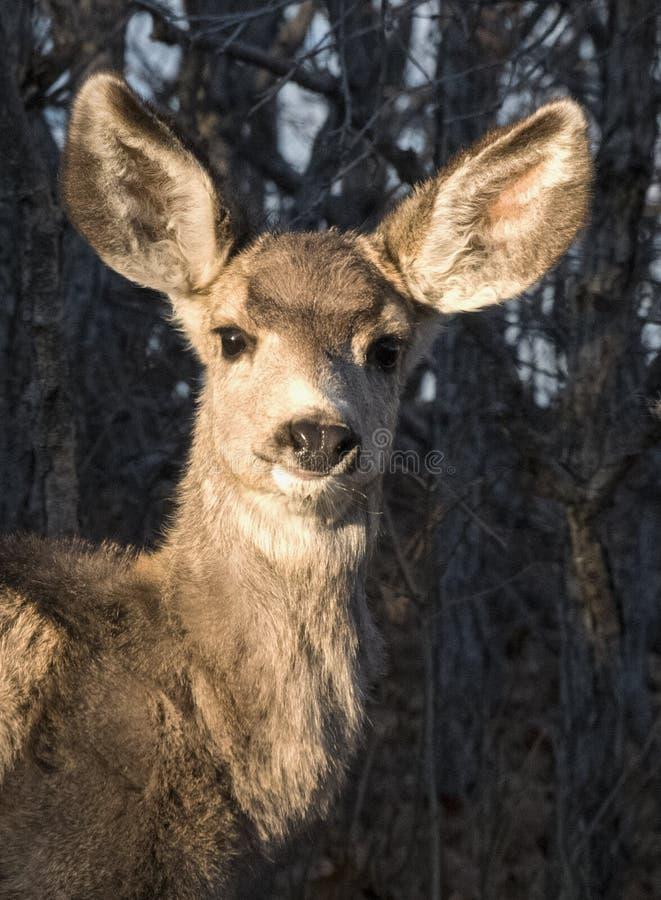 Oídos de Fawn Mule Deer With Big del bebé en bosque con los árboles fotos de archivo libres de regalías