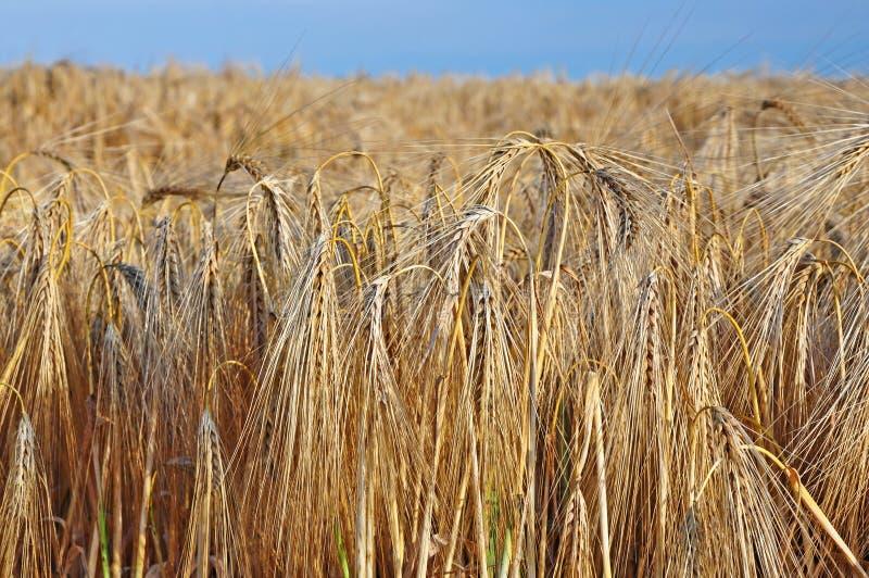 Oídos de la cebada en el campo antes de la cosecha imágenes de archivo libres de regalías