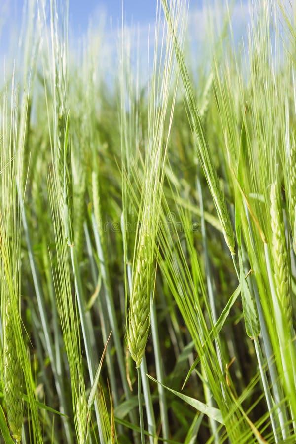 Oídos de la cebada en The Field en un día de verano fotos de archivo