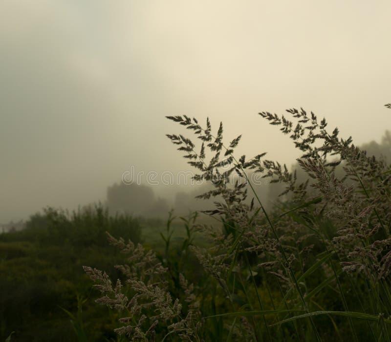 Oídos de la hierba en una mañana de niebla fotografía de archivo
