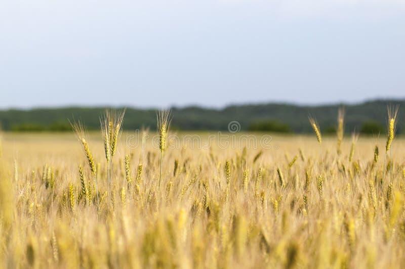 Oídos de maduración del campo de trigo fotos de archivo