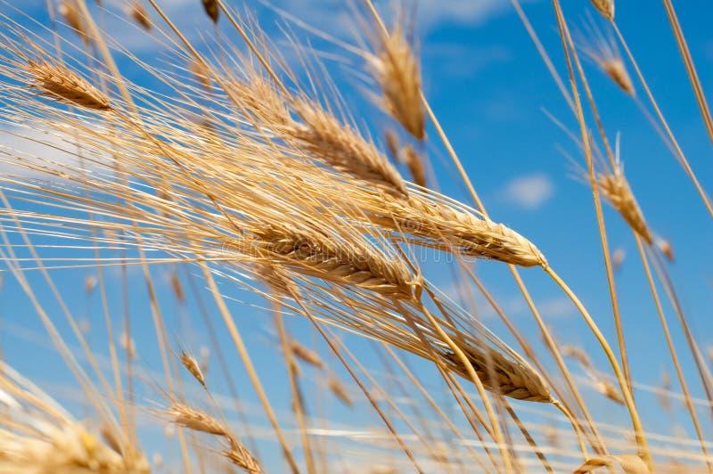 Oídos de oro del trigo contra el cielo azul fotos de archivo libres de regalías