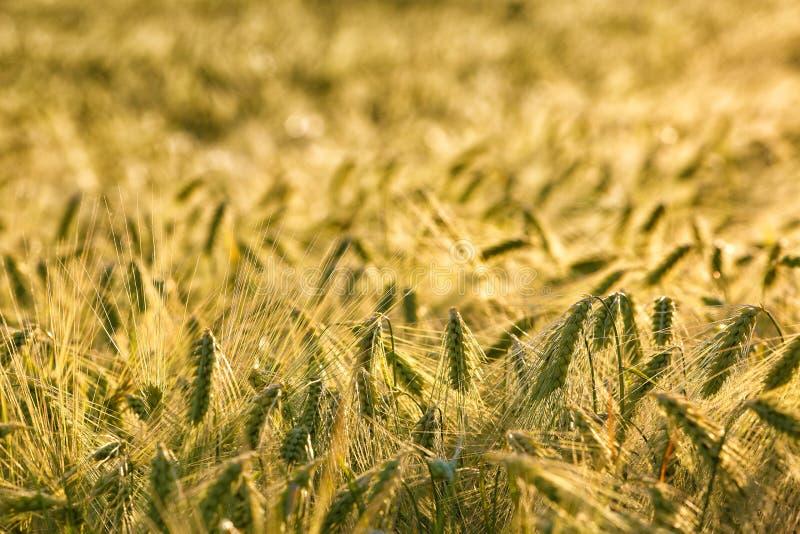 Oídos de oro del trigo del fondo del verano en sunligh fotografía de archivo libre de regalías