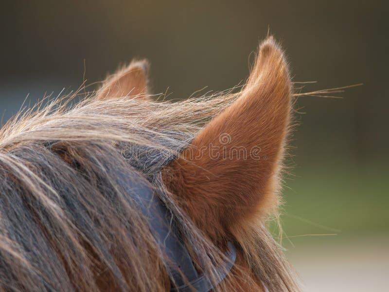 Oídos del caballo imágenes de archivo libres de regalías