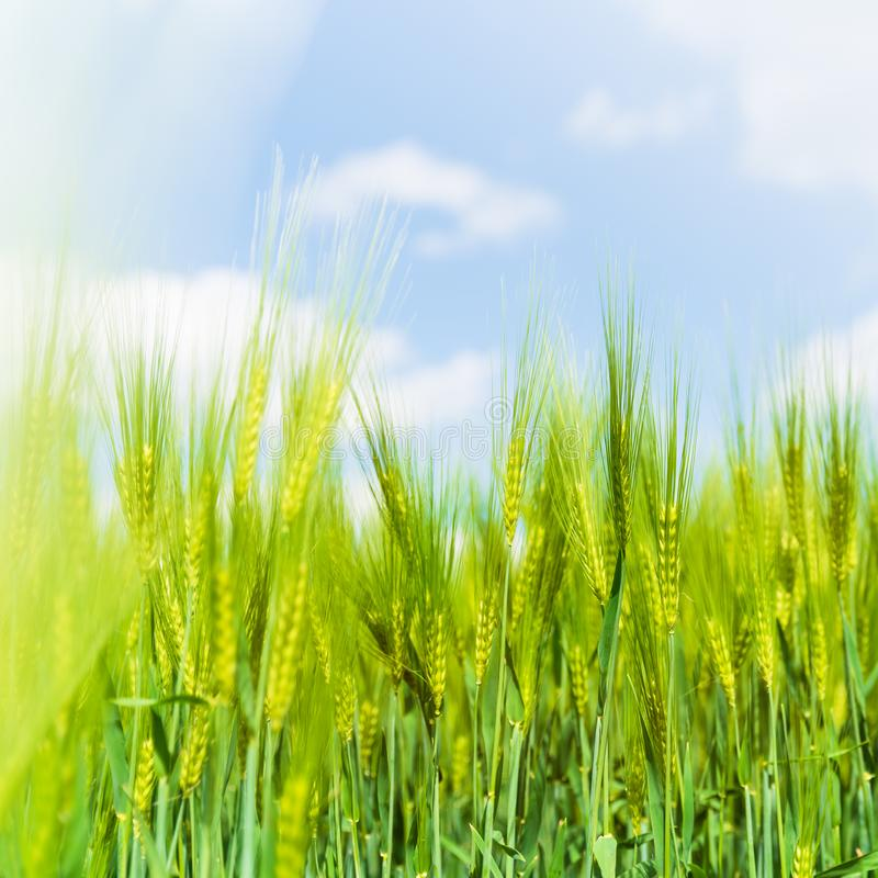Oídos del centeno verde con el cielo azul en el fondo, fondo natural fotografía de archivo