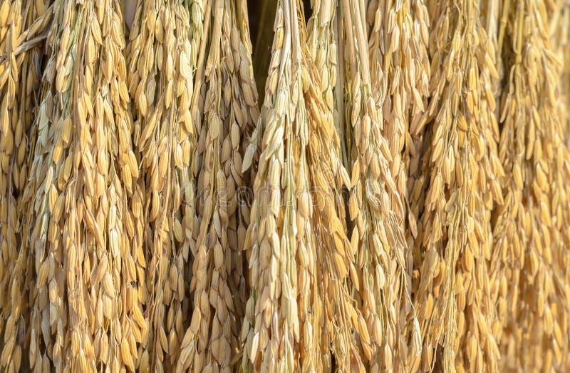 Oídos del fondo del arroz de arroz imagenes de archivo