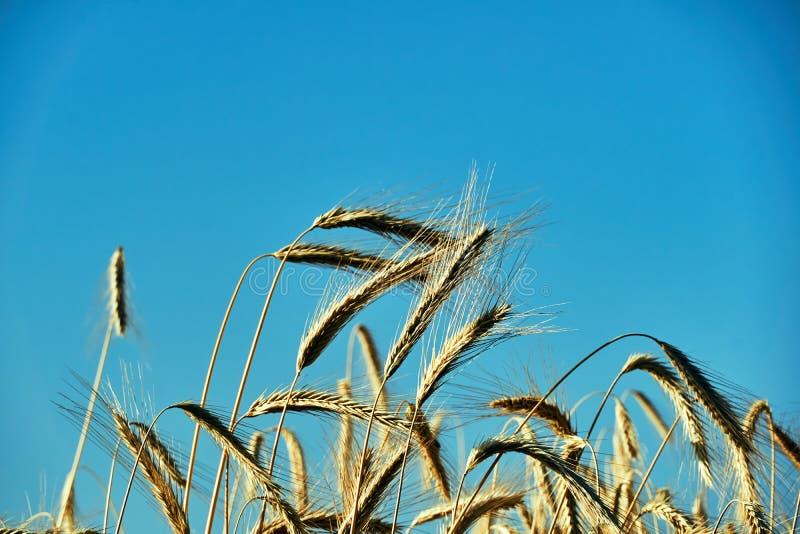 Oídos del maíz maduro contra la perspectiva del cielo del verano fotos de archivo