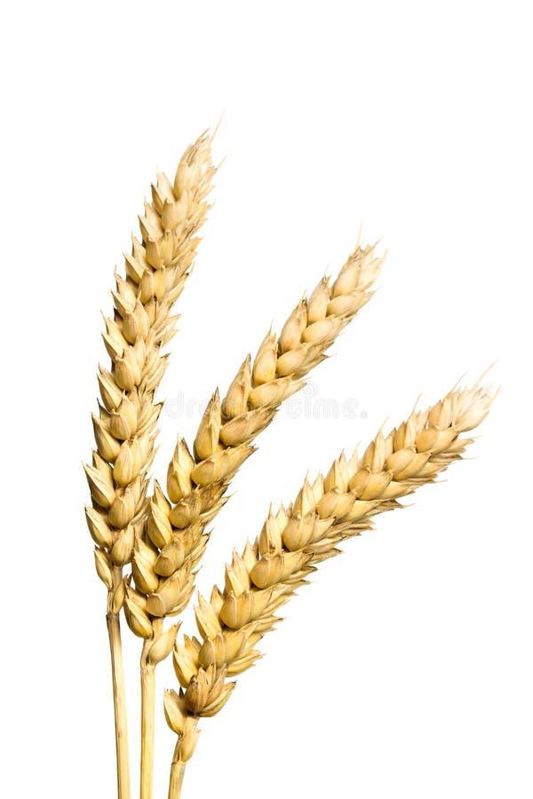 Oídos del trigo aislados en blanco fotografía de archivo