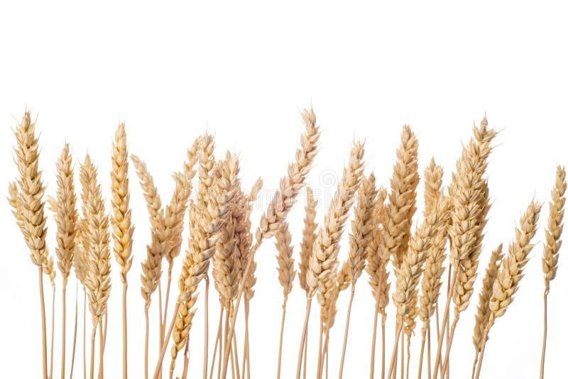 Oídos del trigo aislados en un fondo blanco fotografía de archivo