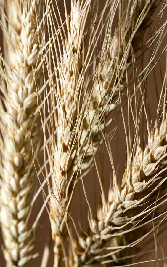 Oídos del trigo como fondo foto de archivo