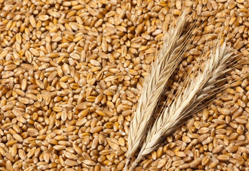 Oídos del trigo con los gérmenes fotografía de archivo libre de regalías