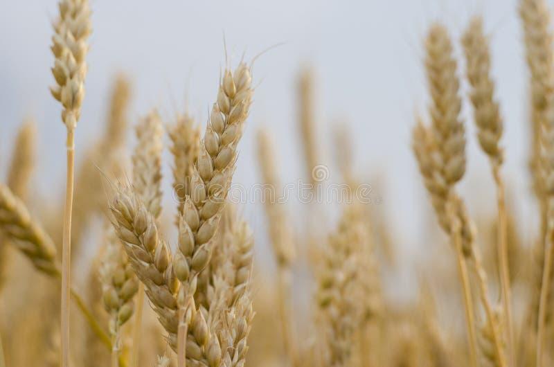 Oídos del trigo en el campo imagen de archivo libre de regalías