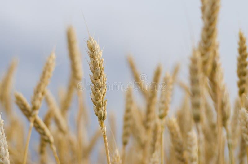 Oídos del trigo en el campo foto de archivo