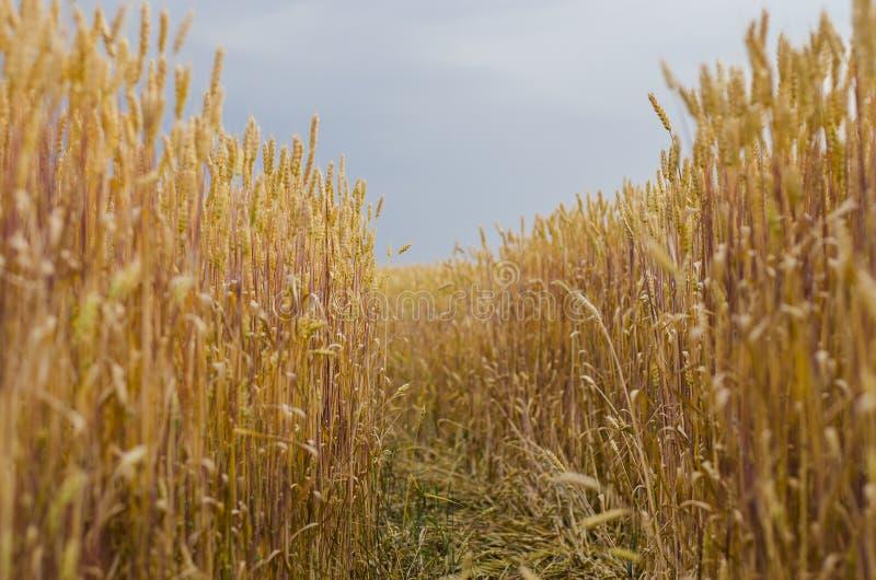 Oídos del trigo en el campo fotografía de archivo