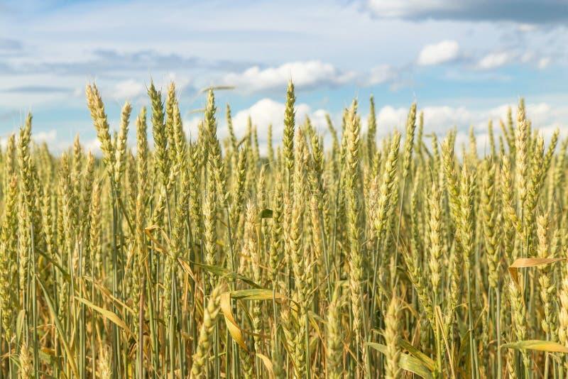 Oídos del trigo en el campo, cielo azul con las nubes imágenes de archivo libres de regalías