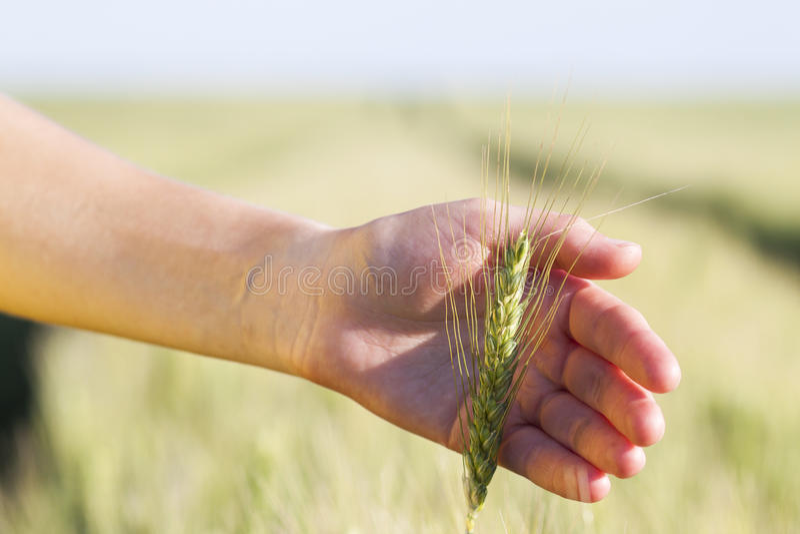 Oídos del trigo en el woman& x27; mano de s Campo en puesta del sol o salida del sol cosecha fotografía de archivo libre de regalías