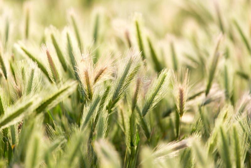 Oídos del trigo en la naturaleza foto de archivo libre de regalías