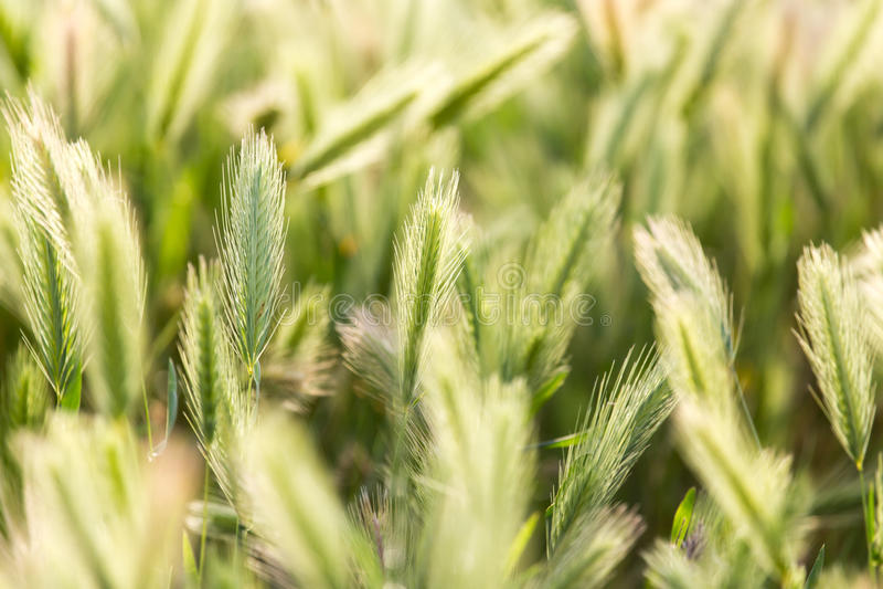 Oídos del trigo en la naturaleza fotografía de archivo