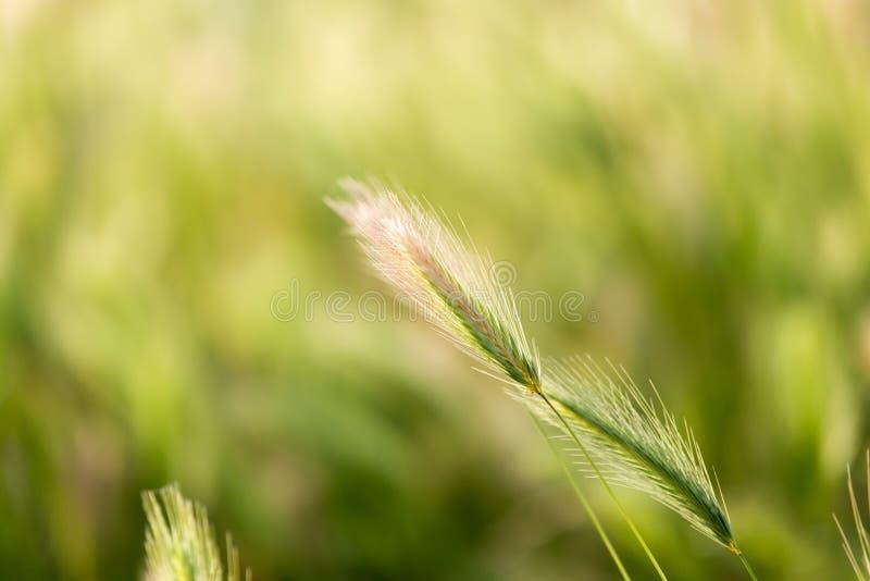 Oídos del trigo en la naturaleza fotos de archivo