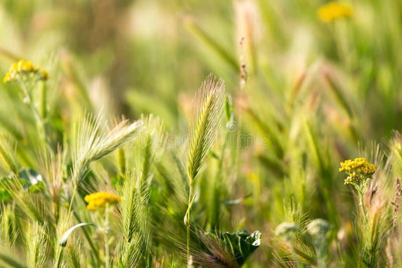 Oídos del trigo en la naturaleza imágenes de archivo libres de regalías