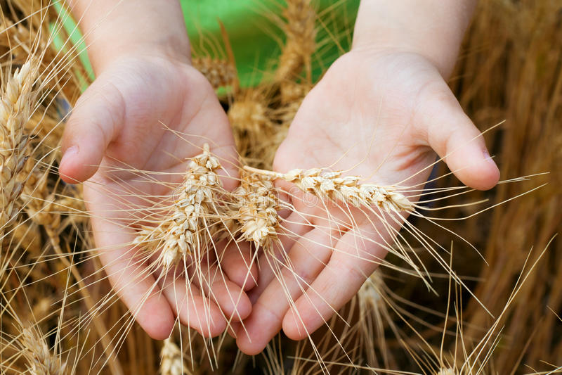 Oídos del trigo en las manos del niño imagenes de archivo