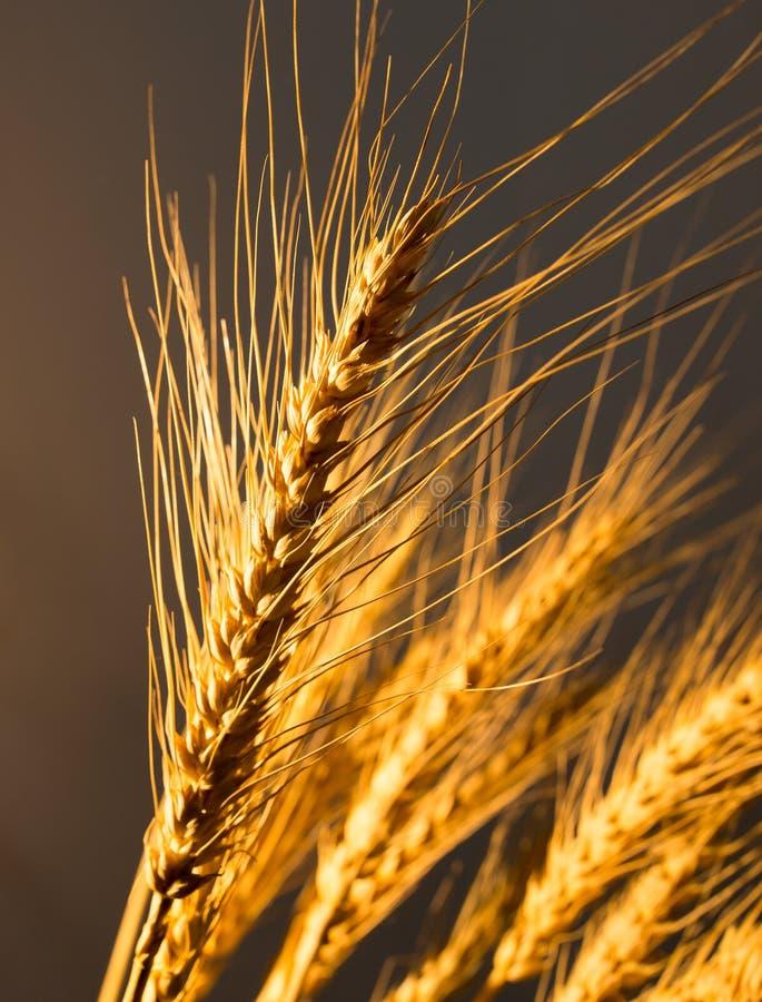 Oídos del trigo en luz de oro imágenes de archivo libres de regalías