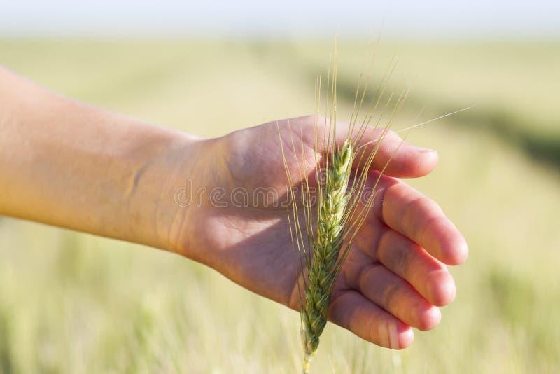 Oídos del trigo en mano del ` s de la mujer Campo en puesta del sol o salida del sol cosecha foto de archivo
