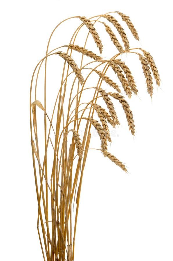 Oídos del trigo maduro aislados en un fondo blanco fotografía de archivo