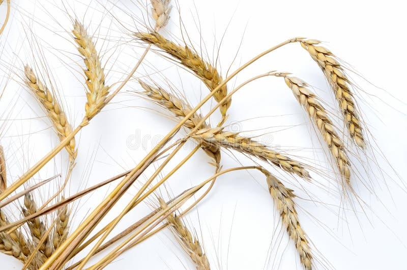 Oídos del trigo maduro en un fondo blanco imagen de archivo libre de regalías
