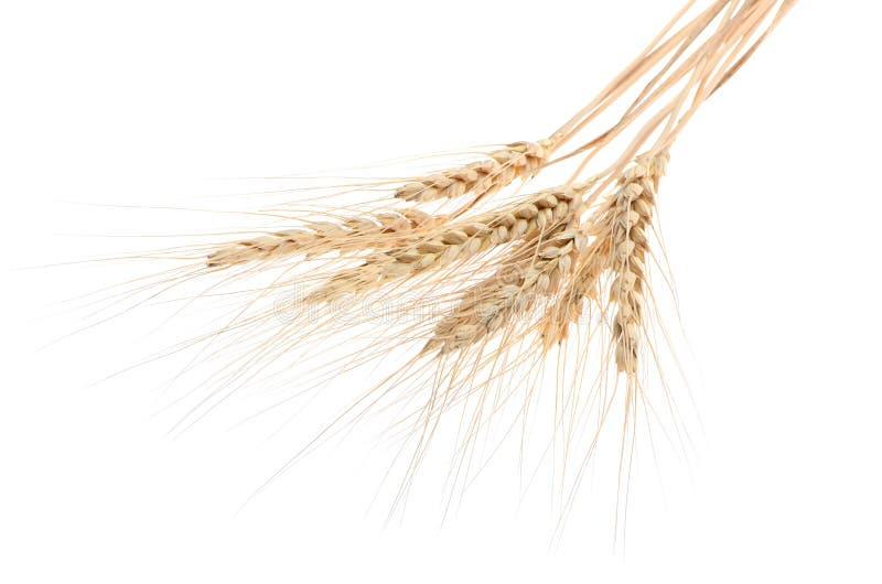 Oídos del trigo maduro en un fondo blanco Concepto de éxito Th imagen de archivo