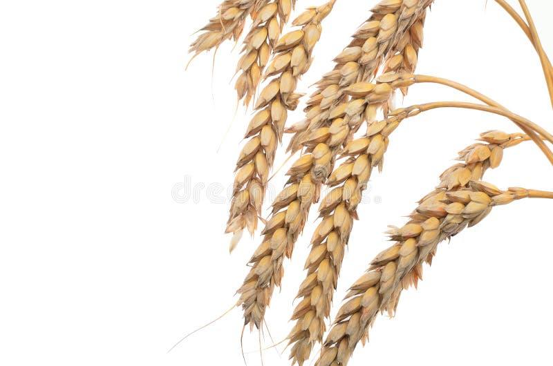 Oídos del trigo maduro en un fondo blanco Concepto de éxito Th foto de archivo libre de regalías