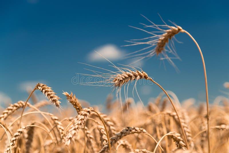 Oídos del trigo que crecen en el campo fotos de archivo