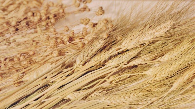 Oídos del trigo y de la avena, cereales foto de archivo libre de regalías