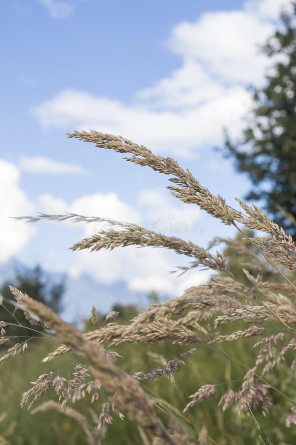 Oídos detallados del trigo con un cielo azul con las nubes fotos de archivo libres de regalías