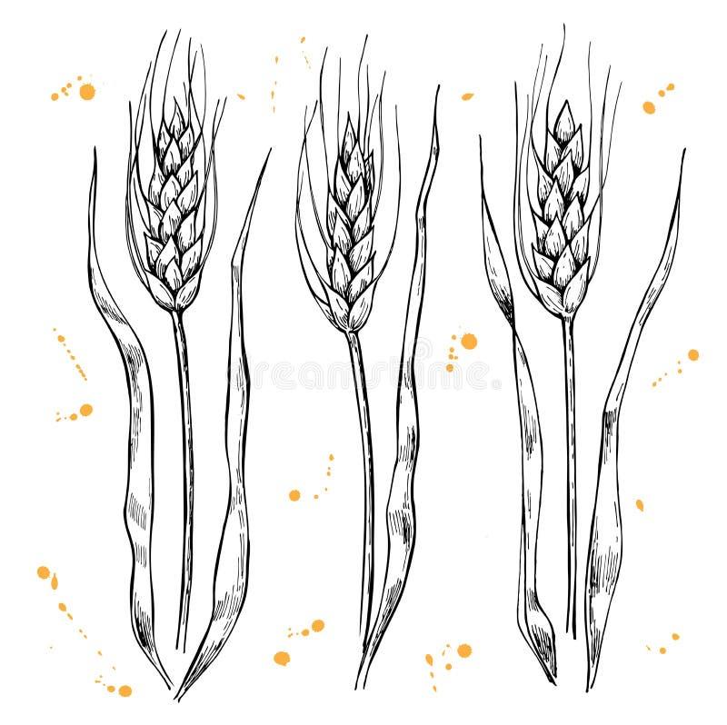 Oídos dibujados mano del trigo del vector fijados libre illustration