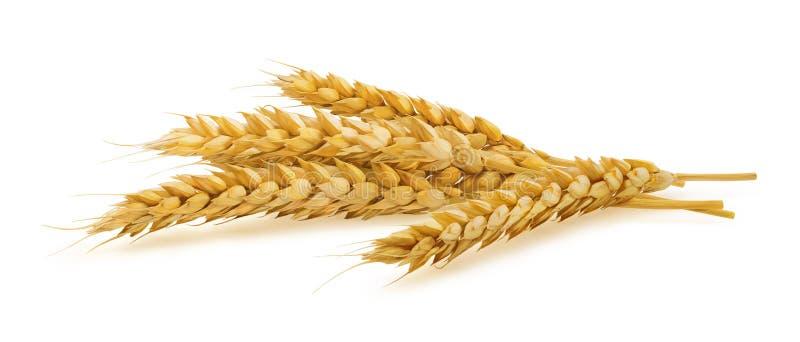 Oídos horizontales del trigo aislados en el fondo blanco imagen de archivo