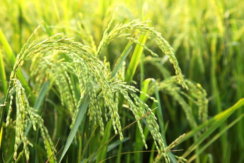 Oídos jovenes del arroz en el campo verde fotografía de archivo libre de regalías