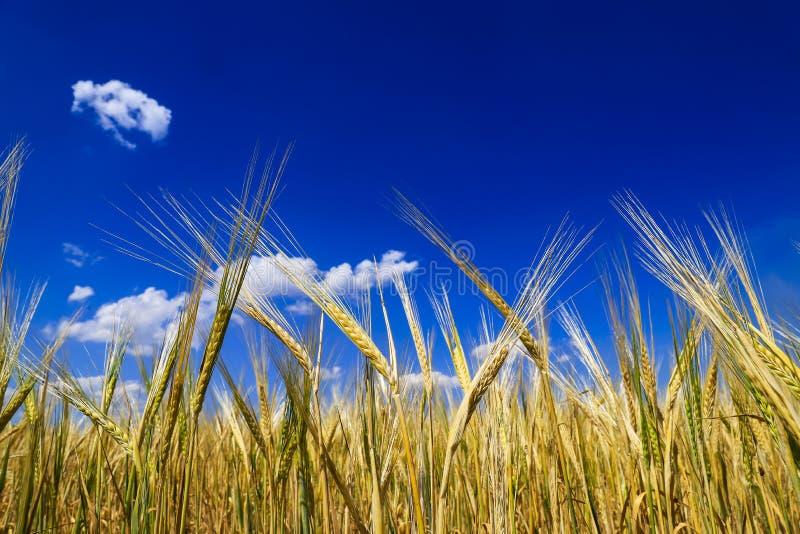 Oídos maduros, de oro del trigo en el campo contra el cielo azul, imagen de archivo libre de regalías