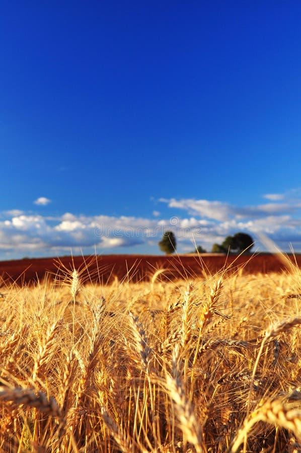 Oídos maduros del trigo imagen de archivo