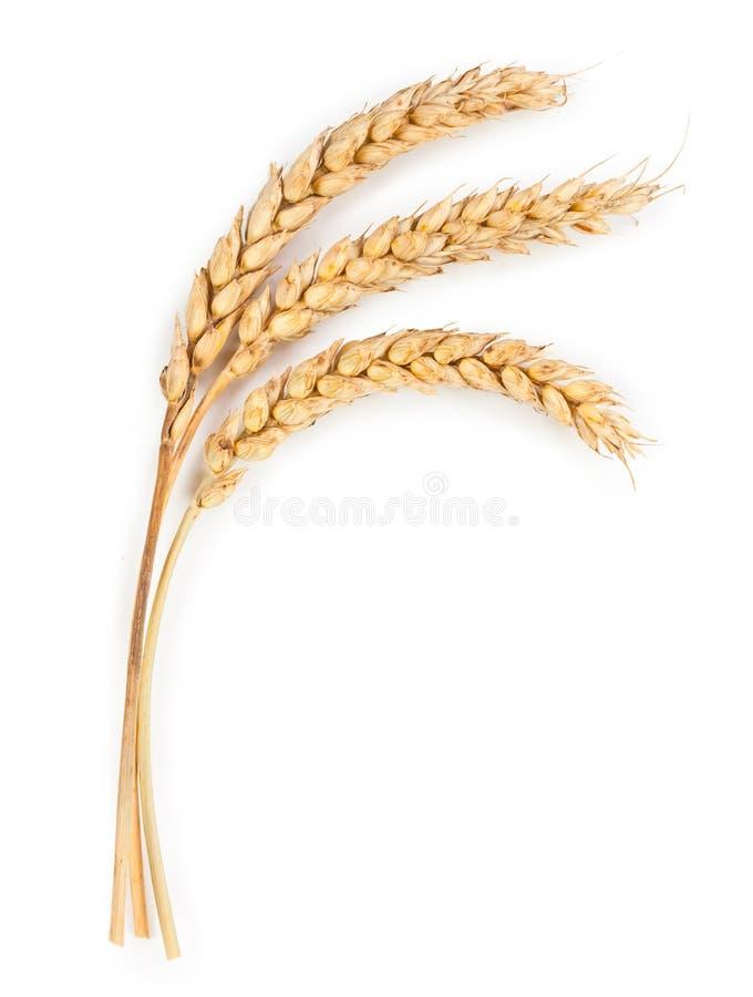 Oídos maduros del trigo aislados en el fondo blanco fotografía de archivo libre de regalías