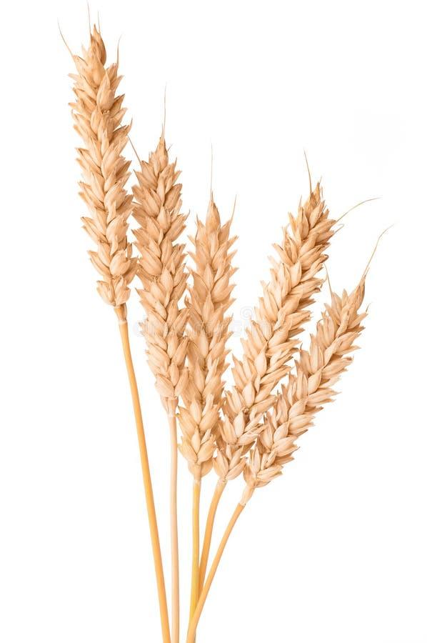 Oídos maduros del trigo aislados en el fondo blanco imagen de archivo libre de regalías